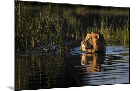 Lion (Panthera Leo) Swimming, Okavango Delta, Botswana-Wim van den Heever-Mounted Photographic Print