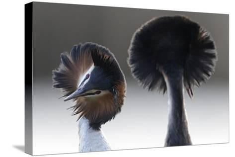 Great Crested Grebe (Podiceps Cristatus) Pair with Crest Erect During Courtship Dance-David Pattyn-Stretched Canvas Print
