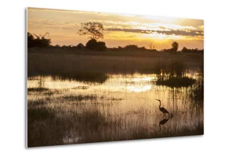 Purple Heron (Ardea Purpurea) Fishing at Sunset-Neil Aldridge-Metal Print