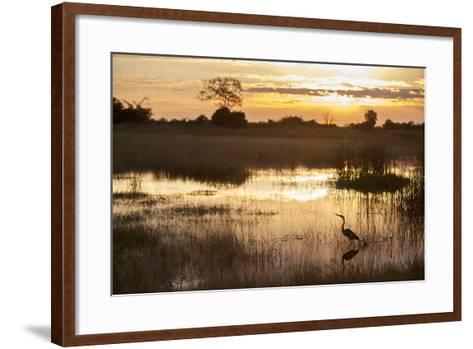 Purple Heron (Ardea Purpurea) Fishing at Sunset-Neil Aldridge-Framed Art Print