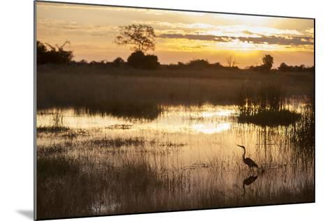 Purple Heron (Ardea Purpurea) Fishing at Sunset-Neil Aldridge-Mounted Photographic Print
