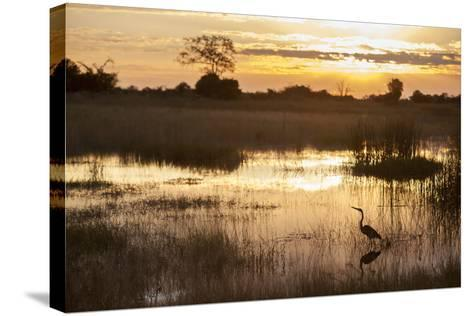 Purple Heron (Ardea Purpurea) Fishing at Sunset-Neil Aldridge-Stretched Canvas Print