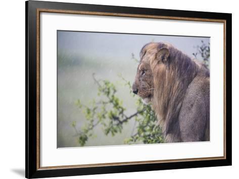 Lion (Panthera Leo) in Heavy Rain, Okavango Delta, Botswana-Wim van den Heever-Framed Art Print
