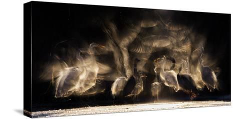 Great Egrets (Ardea Alba) and Grey Heron (Ardea Cinerea) Squabbling over Fish, with Some in Flight-Bence Mate-Stretched Canvas Print