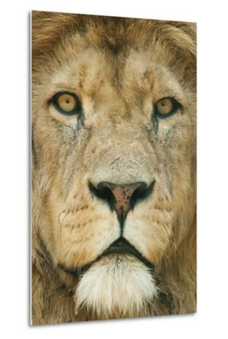 Lion (Panthera Leo) Close Up Portrait of Male, Captive Occurs in Africa-Edwin Giesbers-Metal Print