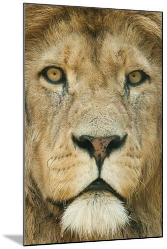 Lion (Panthera Leo) Close Up Portrait of Male, Captive Occurs in Africa-Edwin Giesbers-Mounted Photographic Print