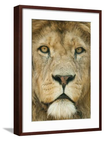 Lion (Panthera Leo) Close Up Portrait of Male, Captive Occurs in Africa-Edwin Giesbers-Framed Art Print