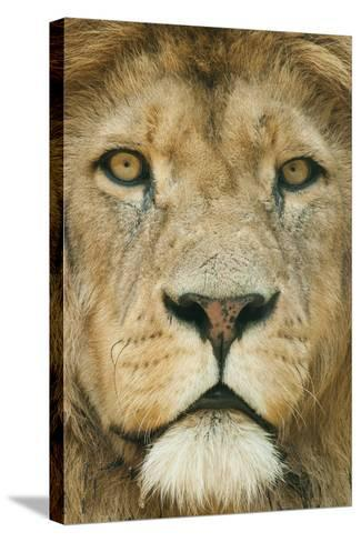 Lion (Panthera Leo) Close Up Portrait of Male, Captive Occurs in Africa-Edwin Giesbers-Stretched Canvas Print