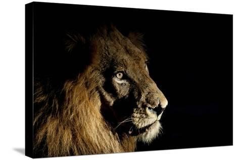 Lion (Panthera Leo) Male with Scars Photographed with Side-Lit Spot Light at Night-Wim van den Heever-Stretched Canvas Print