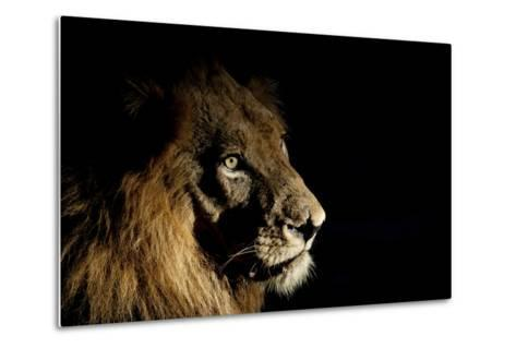 Lion (Panthera Leo) Male with Scars Photographed with Side-Lit Spot Light at Night-Wim van den Heever-Metal Print