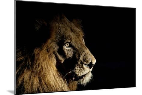 Lion (Panthera Leo) Male with Scars Photographed with Side-Lit Spot Light at Night-Wim van den Heever-Mounted Photographic Print