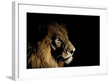 Lion (Panthera Leo) Male with Scars Photographed with Side-Lit Spot Light at Night-Wim van den Heever-Framed Art Print