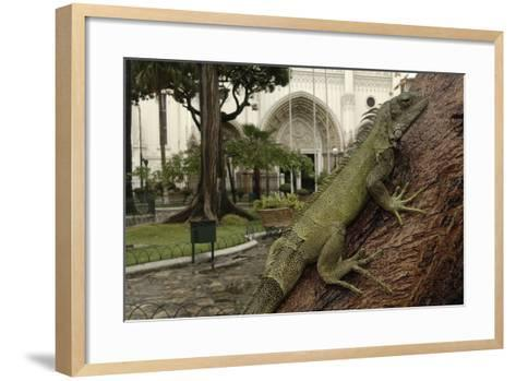 Common Green Iguana (Iguana Iguana) Living Wild in Parque Seminario, Guayaquil, Ecuador. 2005-Pete Oxford-Framed Art Print