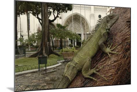 Common Green Iguana (Iguana Iguana) Living Wild in Parque Seminario, Guayaquil, Ecuador. 2005-Pete Oxford-Mounted Photographic Print