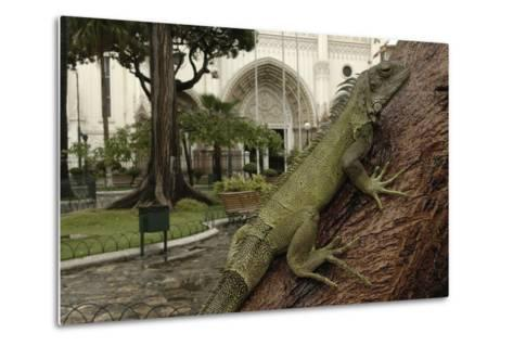 Common Green Iguana (Iguana Iguana) Living Wild in Parque Seminario, Guayaquil, Ecuador. 2005-Pete Oxford-Metal Print