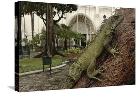 Common Green Iguana (Iguana Iguana) Living Wild in Parque Seminario, Guayaquil, Ecuador. 2005-Pete Oxford-Stretched Canvas Print
