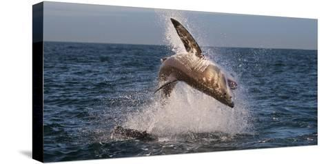 Great White Shark (Carcharodon Carcharias) Breaching-Cheryl-Samantha Owen-Stretched Canvas Print