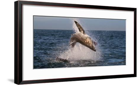 Great White Shark (Carcharodon Carcharias) Breaching-Cheryl-Samantha Owen-Framed Art Print
