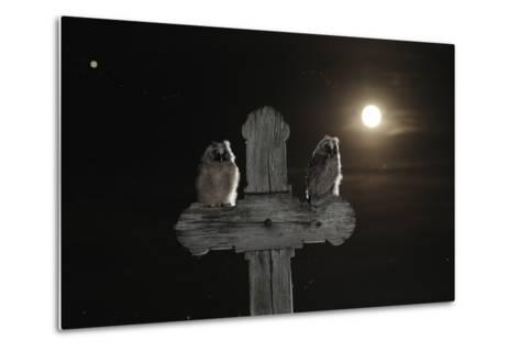 Long Eared Owl (Asio Otus) Chicks Perched on a Cross-Bence Mate-Metal Print