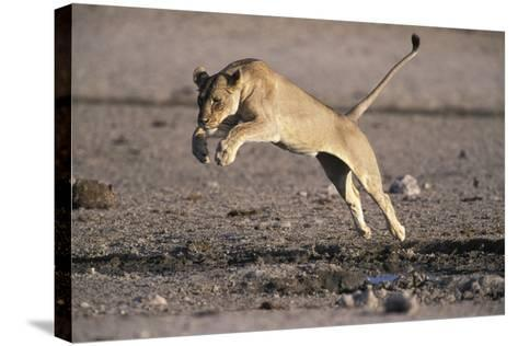 Lioness Jumping over Water (Panthera Leo) Etosha Np, Namibia-Tony Heald-Stretched Canvas Print