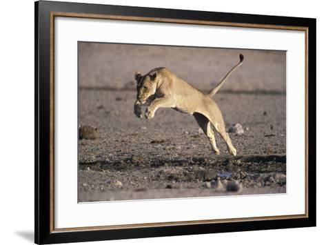 Lioness Jumping over Water (Panthera Leo) Etosha Np, Namibia-Tony Heald-Framed Art Print