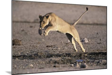 Lioness Jumping over Water (Panthera Leo) Etosha Np, Namibia-Tony Heald-Mounted Photographic Print