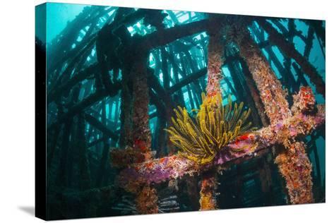 Crinoid (Crinoidea) on Artificial Reef. Mabul, Malaysia-Georgette Douwma-Stretched Canvas Print
