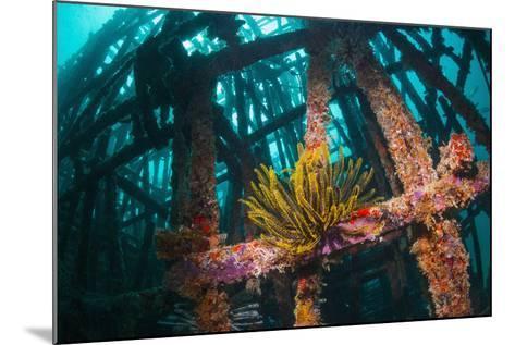Crinoid (Crinoidea) on Artificial Reef. Mabul, Malaysia-Georgette Douwma-Mounted Photographic Print