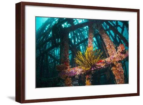 Crinoid (Crinoidea) on Artificial Reef. Mabul, Malaysia-Georgette Douwma-Framed Art Print