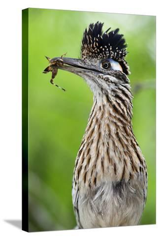 Greater Roadrunner (Geococcyx Californianus) with Nuptial Gift Calling Mate-Claudio Contreras-Stretched Canvas Print