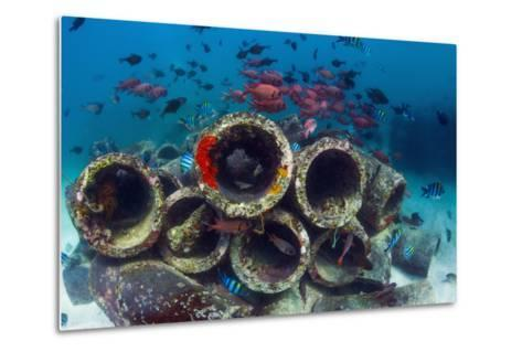 Mixture of Soldierfish (Myripristis) over Cement Pipes in Artifical Reef, Mabul, Malaysia-Georgette Douwma-Metal Print
