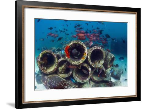 Mixture of Soldierfish (Myripristis) over Cement Pipes in Artifical Reef, Mabul, Malaysia-Georgette Douwma-Framed Art Print