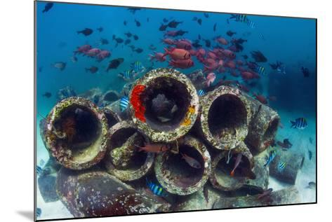 Mixture of Soldierfish (Myripristis) over Cement Pipes in Artifical Reef, Mabul, Malaysia-Georgette Douwma-Mounted Photographic Print