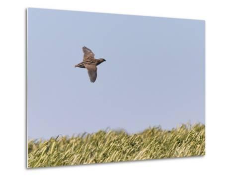 Common Quail (Coturnix Coturnix) Flying over Field, Spain, May-Markus Varesvuo-Metal Print