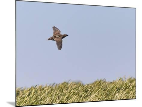Common Quail (Coturnix Coturnix) Flying over Field, Spain, May-Markus Varesvuo-Mounted Photographic Print