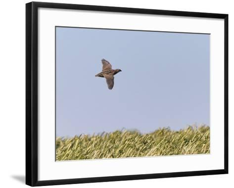 Common Quail (Coturnix Coturnix) Flying over Field, Spain, May-Markus Varesvuo-Framed Art Print