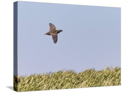 Common Quail (Coturnix Coturnix) Flying over Field, Spain, May-Markus Varesvuo-Stretched Canvas Print