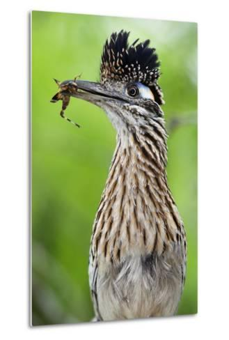 Greater Roadrunner (Geococcyx Californianus) with Nuptial Gift Calling Mate-Claudio Contreras-Metal Print