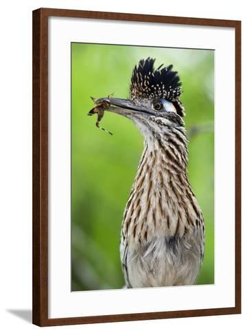 Greater Roadrunner (Geococcyx Californianus) with Nuptial Gift Calling Mate-Claudio Contreras-Framed Art Print