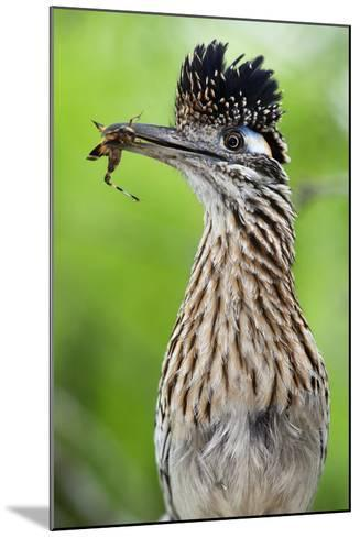 Greater Roadrunner (Geococcyx Californianus) with Nuptial Gift Calling Mate-Claudio Contreras-Mounted Photographic Print