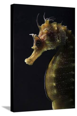 Long Snouted Seahorse (Hippocampus Guttulatus)-Nuno Sa-Stretched Canvas Print