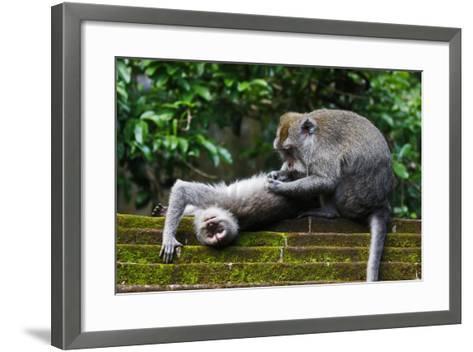 Crab-Eating Macaque (Macaca Fascicularis) Grooming. Bali, Indonesia-Sandesh Kadur-Framed Art Print