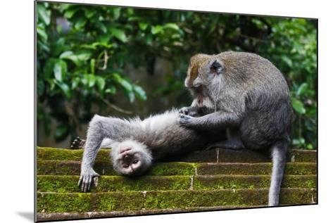 Crab-Eating Macaque (Macaca Fascicularis) Grooming. Bali, Indonesia-Sandesh Kadur-Mounted Photographic Print