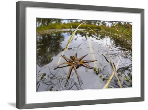 Raft Spider (Dolomedes Fimbriatus) Female on Heathland Pool-Alex Hyde-Framed Art Print