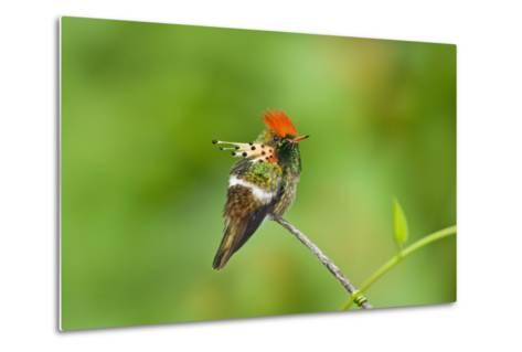 Tufted Coquette Hummingbird (Lophornis Ornatus) Hummingbird Adult Male Perched-Melvin Grey-Metal Print