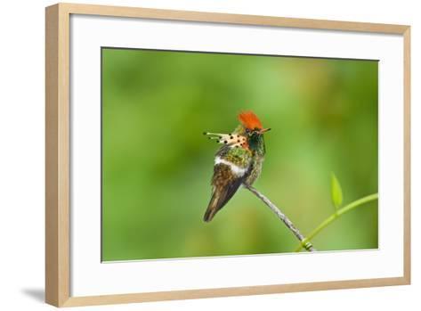 Tufted Coquette Hummingbird (Lophornis Ornatus) Hummingbird Adult Male Perched-Melvin Grey-Framed Art Print