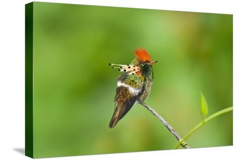 Tufted Coquette Hummingbird (Lophornis Ornatus) Hummingbird Adult Male Perched-Melvin Grey-Stretched Canvas Print