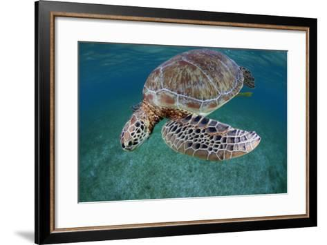 Green Turtle (Chelonia Mydas) Akumal, Caribbean Sea, Mexico, January. Endangered Species-Claudio Contreras-Framed Art Print