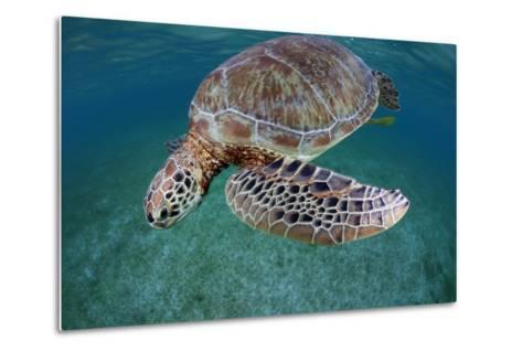 Green Turtle (Chelonia Mydas) Akumal, Caribbean Sea, Mexico, January. Endangered Species-Claudio Contreras-Metal Print