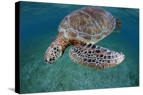Green Turtle (Chelonia Mydas) Akumal, Caribbean Sea, Mexico, January. Endangered Species-Claudio Contreras-Stretched Canvas Print